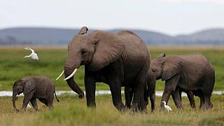 Natural park to zoos: Zimbabwe sends 30 baby elephants to China