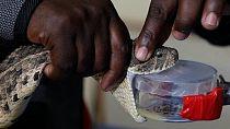 Santé : bientôt un antivenin fabriqué au Kenya