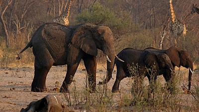 Zimbabwe : 200 éléphants tués par la sécheresse
