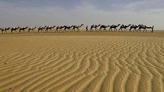 "Sahara occidental : élévage de dromadaires ""à l'ancienne"""