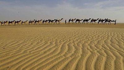 """Sahara occidental : élévage de dromadaires """"à l'ancienne"""""""
