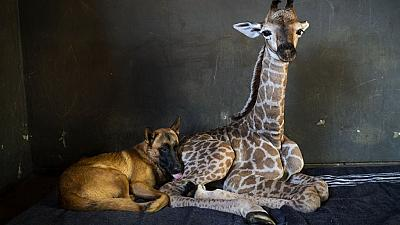 Dog adopts abandoned giraffe