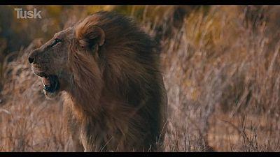 Kenya : un lion recherché après avoir tué un homme à Nairobi