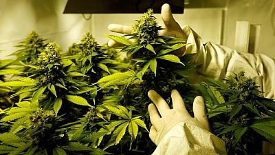 African countries embrace cannabis: Zambia, South Africa, Zimbabwe, Lesotho