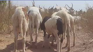 Nigeria: vaccination de masse pour protéger le bétail des maladies endémiques