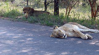 Afrique du Sud : 189 euros d'amende pour observation « dangereuse » d'un lion