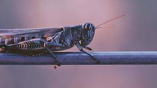 Kenya struggling to contain locust storm