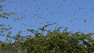 East African nations hit by swarm invasion: Ethiopia, Kenya, Somalia