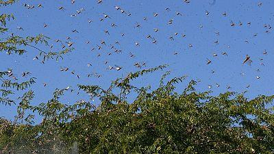 East African nations hit by swarm invasion: Ethiopia, Kenya, Somalia