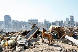 A dog from the French rescue team searches for survivors at the site of the explosion in the port of Beirut, Lebanon. August 7, 2020