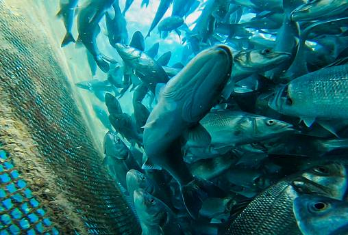Wild vs farmed fish: what should you choose?