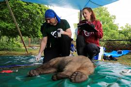 Examination of a brown bear cub at NGO Arcturos' bear sanctuary
