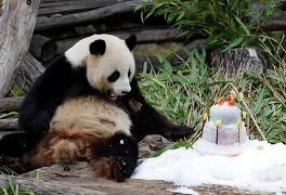 جشن تولد پاندای چینی در باغوحش برلین