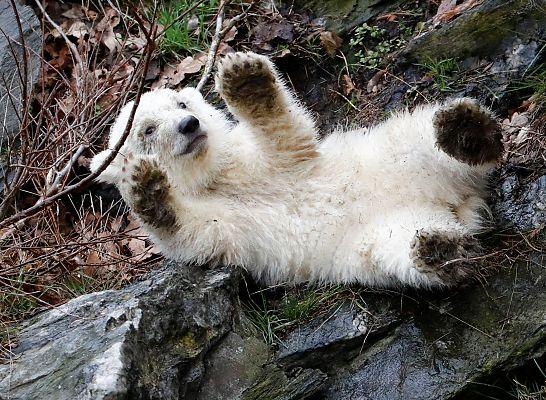 Berlin's ice bear cub