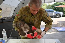 A member of the Australian Defence Force picks up an injured Koala after it was treated for burns at a makeshift field hospital at the Kangaroo Island Wildlife Park.
