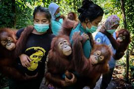 Mother-substitutes carry orphaned orangutans to a forest school where they will teach them to climb trees, at SOCP Quarantine Centre in Sibolangit, North Sumatra, Indonesia