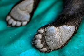 Paws of a brown bear cub