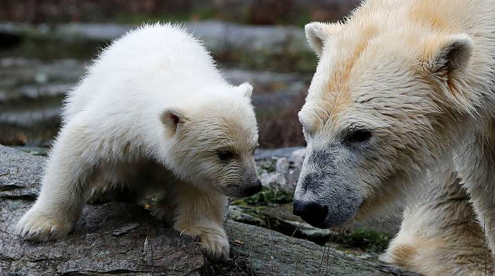 Berlin's polar bear cub has first press appearance
