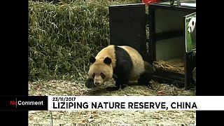 Пару панд выпустили на волю