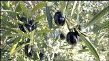 Estados Unidos impone un arancel a la importación de aceitunas españolas