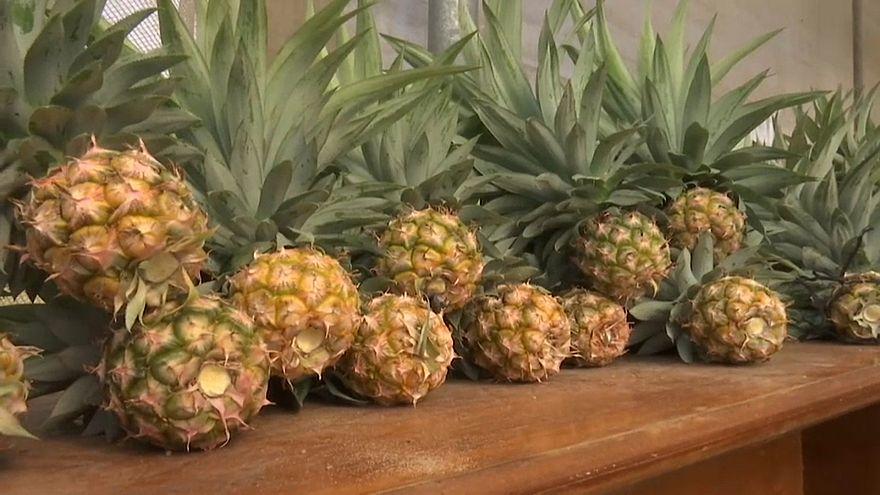 شاهد: فاكهة الأناناس تثمر للمرة الأولى في قطاع غزة