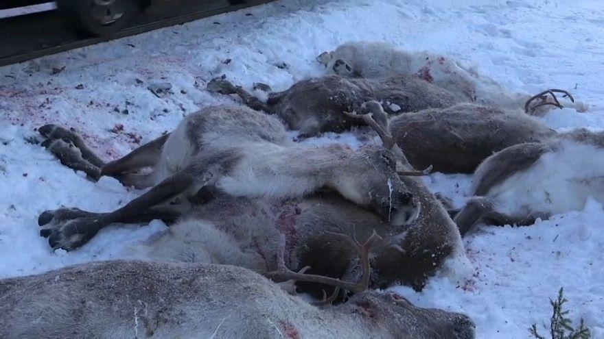 Strage di renne sui binari del treno in Norvegia