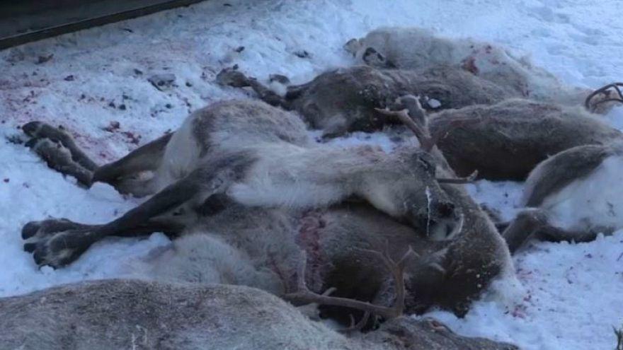 Noruega, masacre de renos en las vías ferroviarias