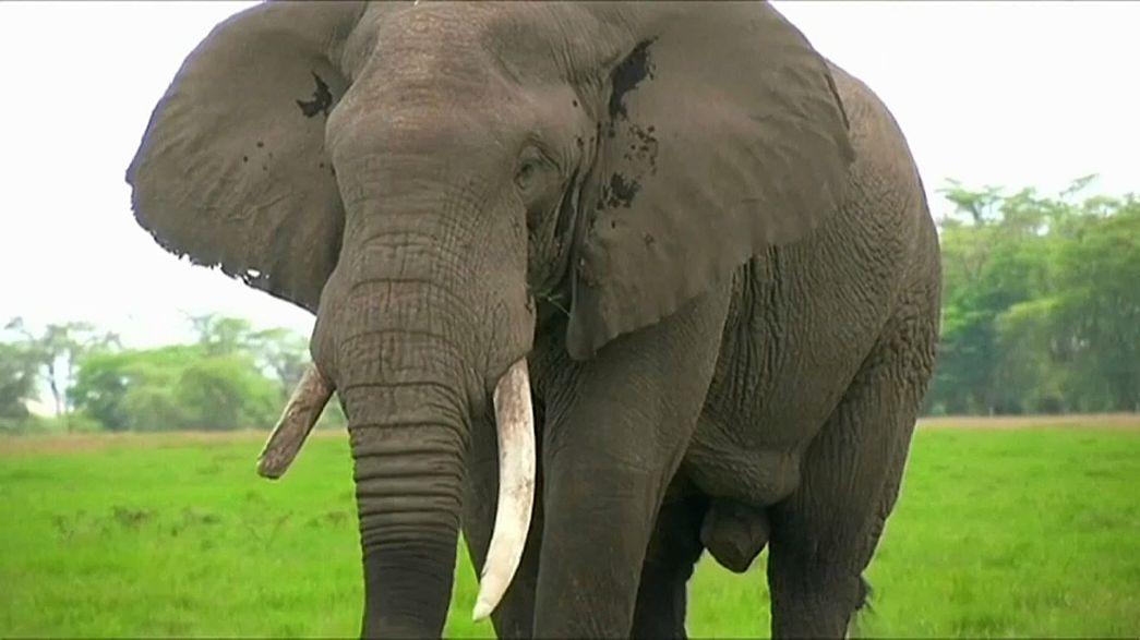 Elefantes na África Central e Ocidental em risco de extinção