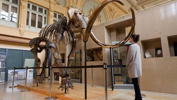 Une visiteuse observe un squelette de mammouth mis en enchères à Lyon