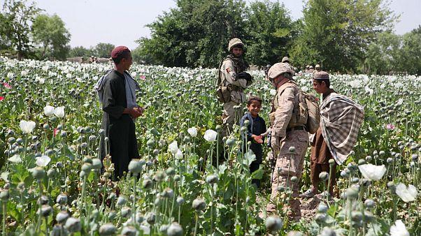 خشخاش بعد از جنوب، زمینهای شمال افغانستان را هم بلعید