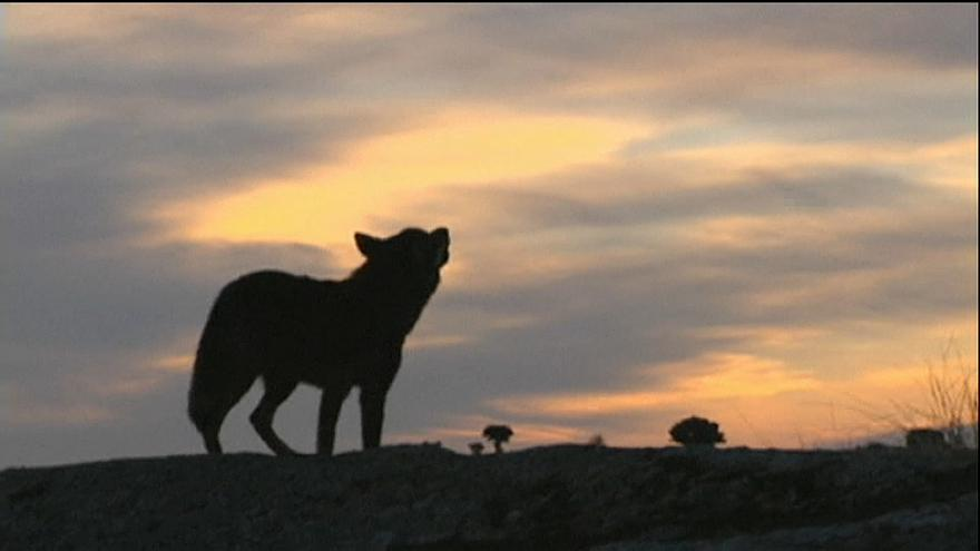 EU sagt Nein zur Jagd auf Wölfe
