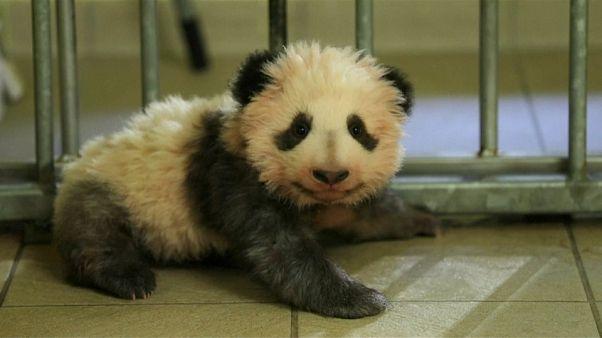 La diplomatie du bébé panda