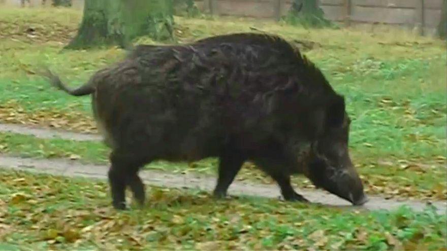 Deutschland: Schlaraffenland für Wildschweine