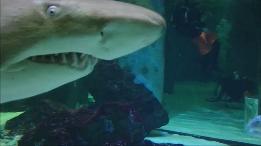 Köpek balığı ile dalgıçlar akvaryumda buluşursa