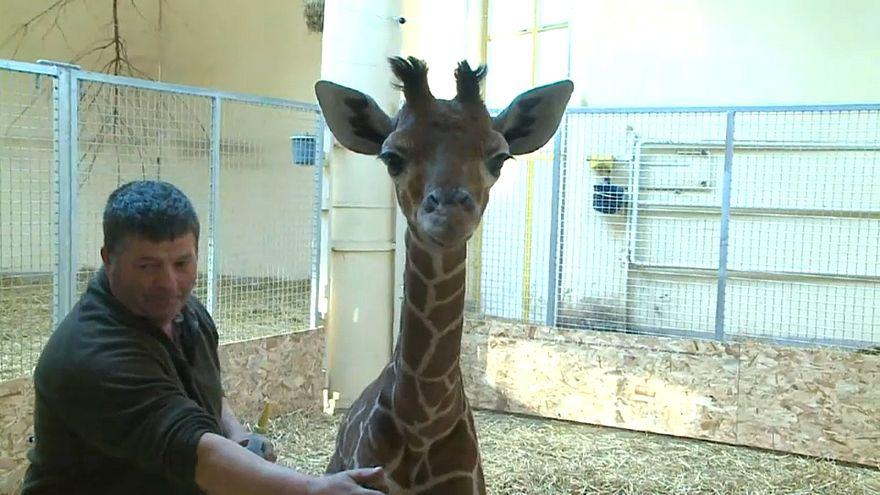 Verstoßene Baby-Giraffe wird mit der Flasche großgezogen