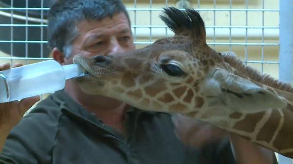El ejemplar número 165 de la jirafa reticulada se encuentra en Hungría