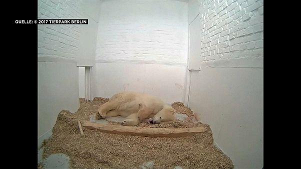 Eisbärenbaby im Berliner Tierpark geboren