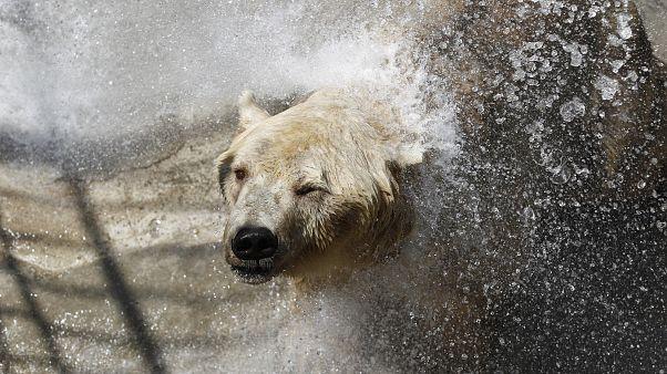 دب قطبي في جزيرة بافين الكندية