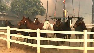 خيول مذعورة في حظيرة بكاليفورنيا