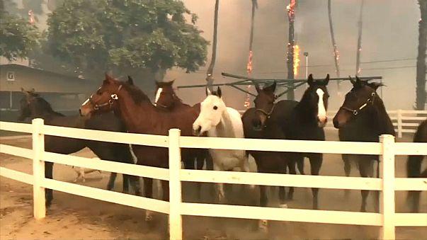 شاهد.. خيول تفرّ مذعورةً من الحظائر بسبب حرائق كاليفورنيا