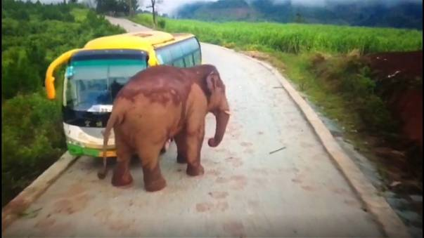 Watch: Elephant attacks vehicles in China