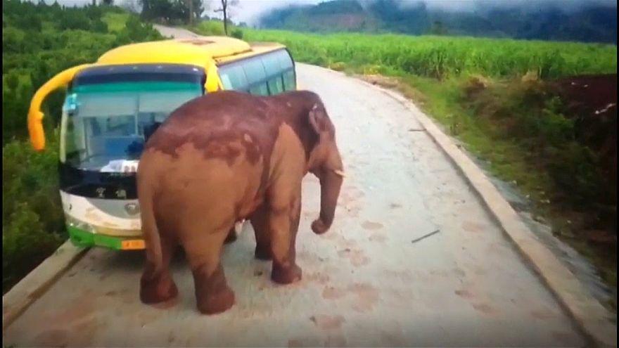 Un éléphant s'attaque à un bus et à un camion en Chine : pas de blessé