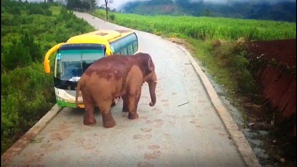 China: Elefant attackiert Fahrzeuge