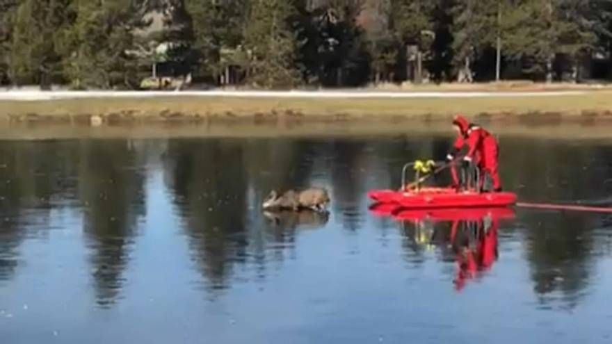 Donan gölette mahsur kalan geyik kurtarıldı