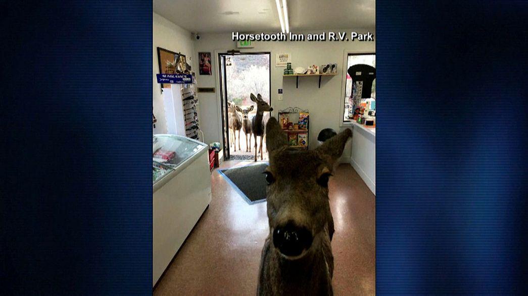 Reh inspiziert Laden in Colorado