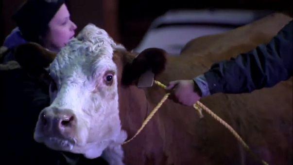 Сбежавшая корова: кадры задержания