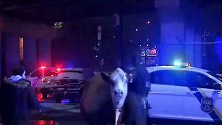 دردسر گاو سرگردان در خیابانهای فیلادلفیا
