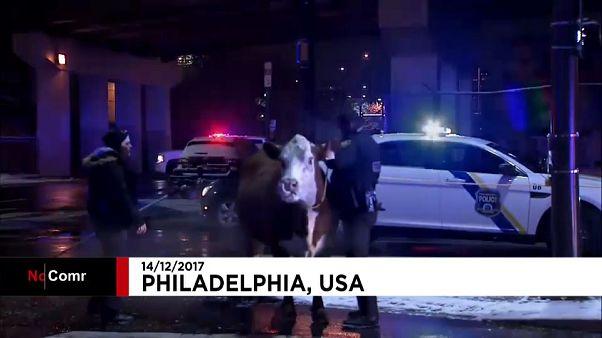 USA: Polizei fängt Kuh auf Autobahn ein