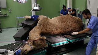 آغاز به کار نخستین بیمارستان تخصصی شتر در جهان