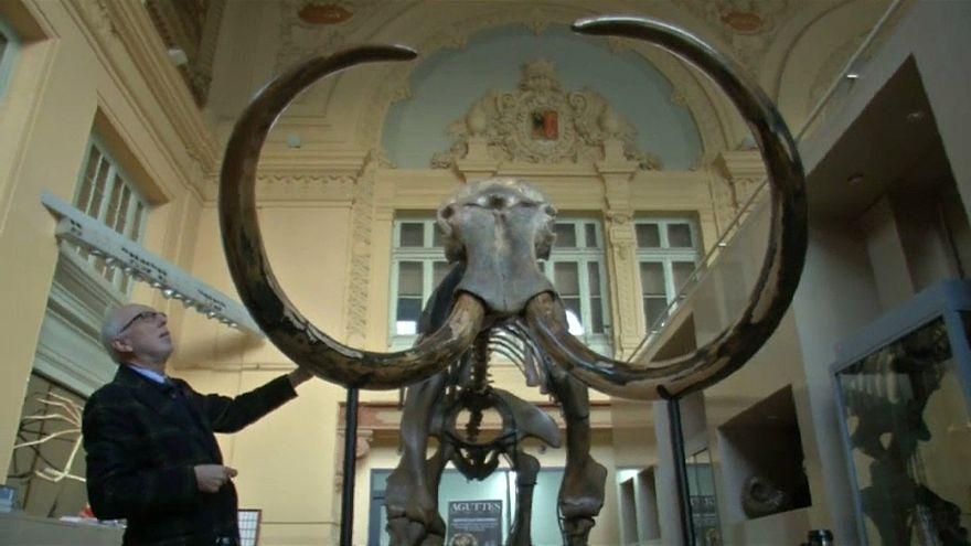 Ein Mammut - zum Ersten, zum Zweiten, zum .....